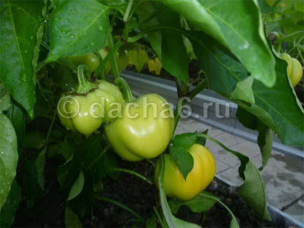 Совместимость растений в теплице: томаты, огурцы, перцы, баклажаны, бахчевые