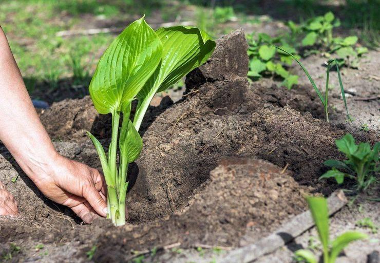 Хоста: лучшие виды и сорта, правила выращивания
