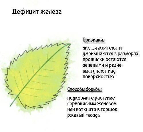 Розы: признаки недостатка элементов питания на supersadovnik.ru