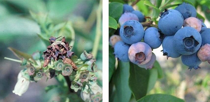 Болезни садовой голубики и борьба с ними: причины и признаки заболеваний, схема лечения
