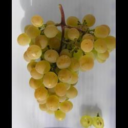 Самые вкусные сорта винограда: крупные, зимостойкие, ранние, среднеспелые, поздние, 10 лучших сортов винограда с вкуснейшими ягодами