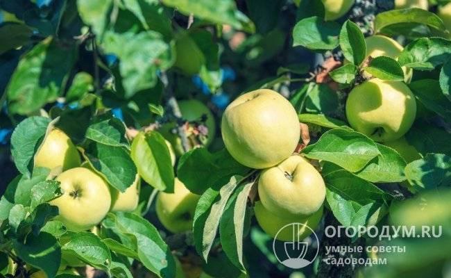 Яблоня мартовское