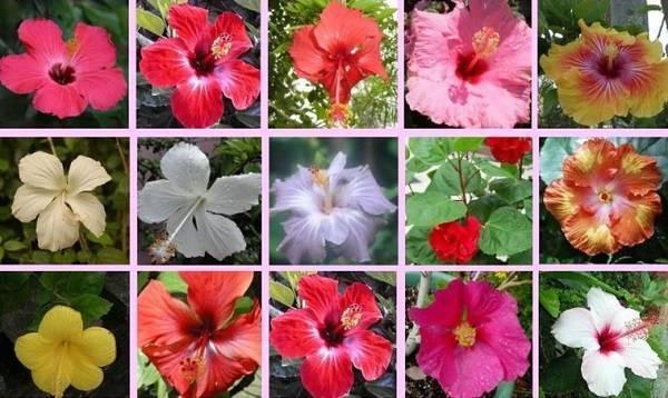 Китайская роза или гибискус: уход в домашних условиях. потребности цветка – подкормки, полив, размножение
