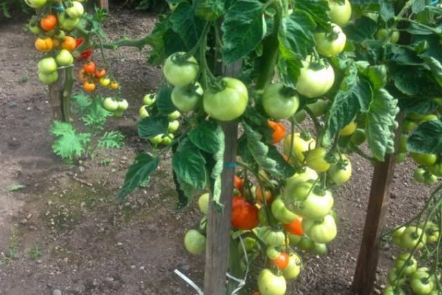 Описание сорта томата Толстой F1 — особенности выращивания