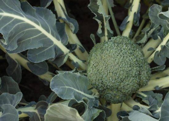Капуста брокколи - выращивание и уход в открытом грунте