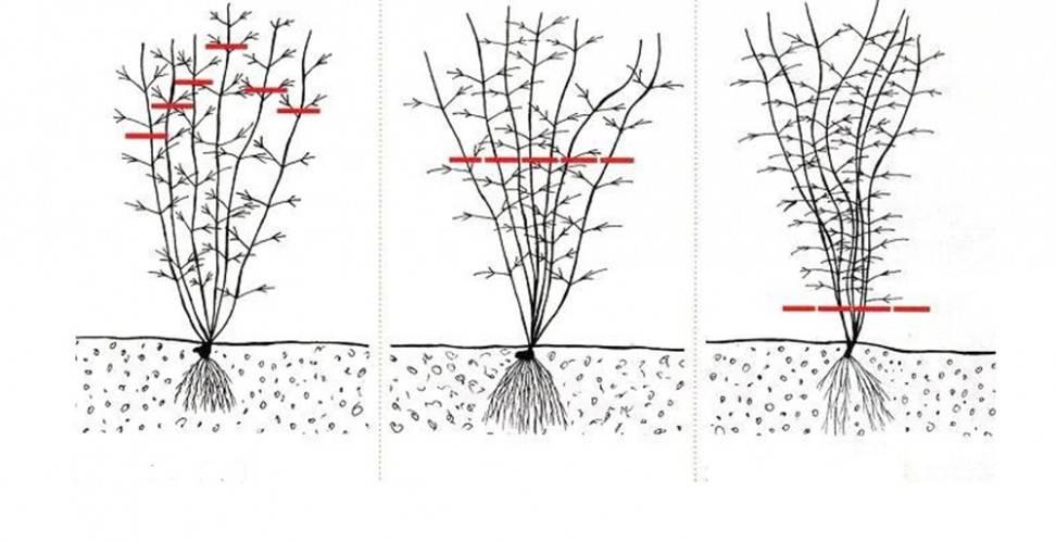 Сорта клематиса третьей группы обрезки