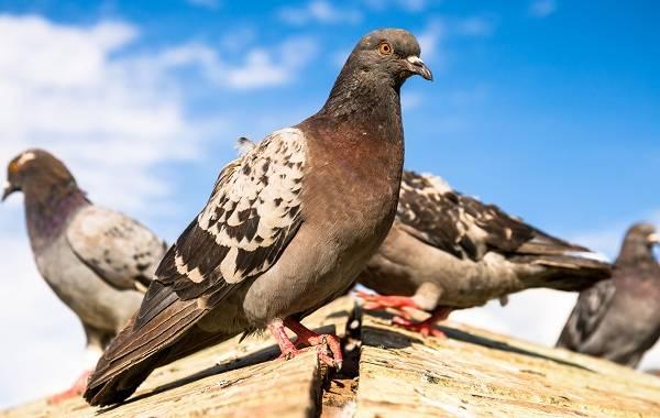 Птица голубь - 115 фото, описание, строение, полет и особенности размножения