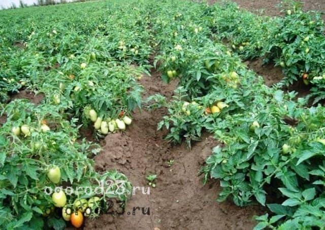 Когда  и как высаживать рассаду помидоров в открытый грунт, советы огороднику