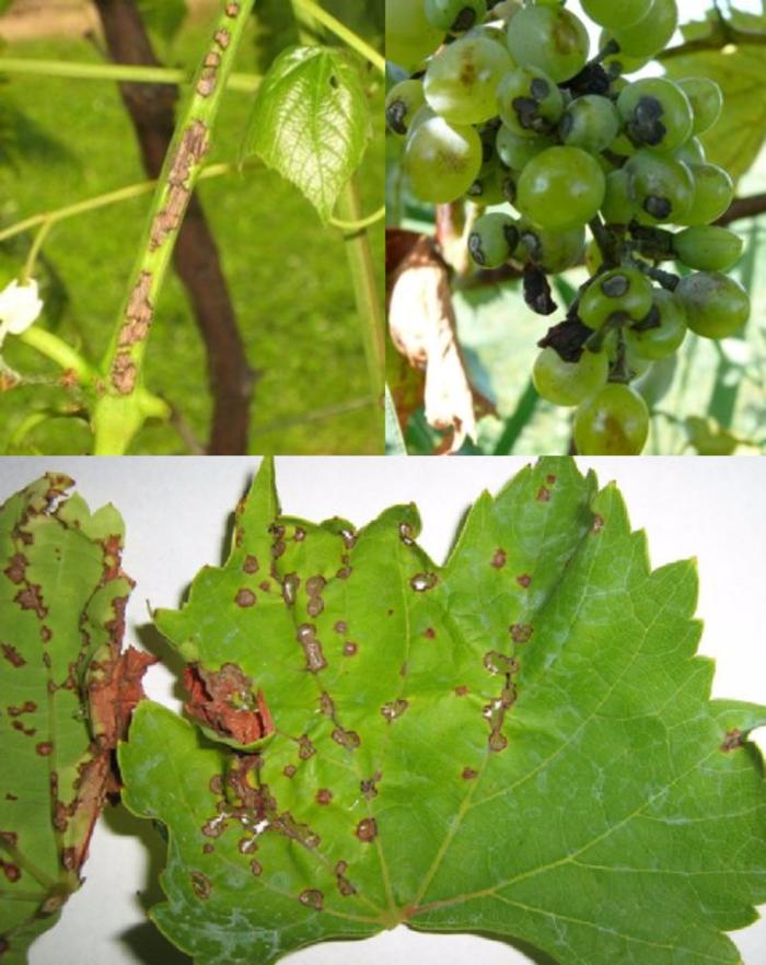 Чем лечить черную пятнистость винограда: препараты для профилактики и борьбы  - vinograd-loza
