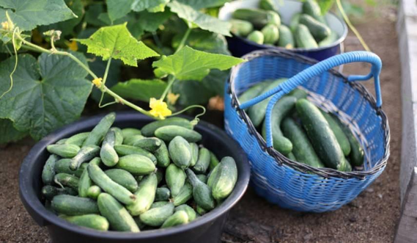 Семена огурец деревенский разносол f1 ц/п 0,3г аэлита