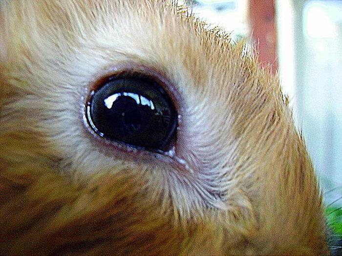 Болезни глаз у кроликов: слезятся, гноятся глаза причины и лечение