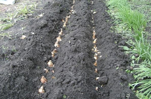 Как и когда пересаживать тюльпаны на новое место?
