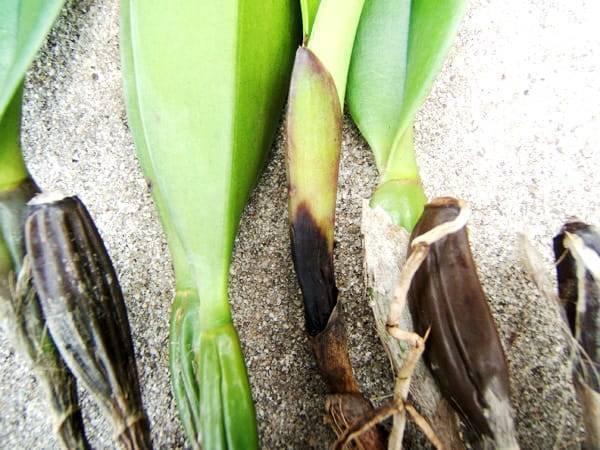 Болезни орхидеи и их лечение с фото и рекомендациями