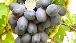 12 лучших винных сортов винограда для северного виноградника