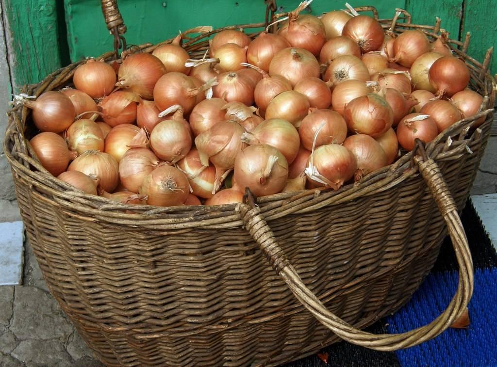 Сорт лука стурон: выращивание и уход