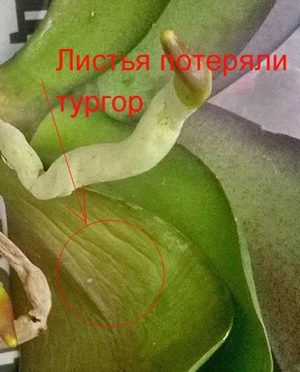 Почему не цветет орхидея — что делать, чтобы зацвела в домашних условиях?