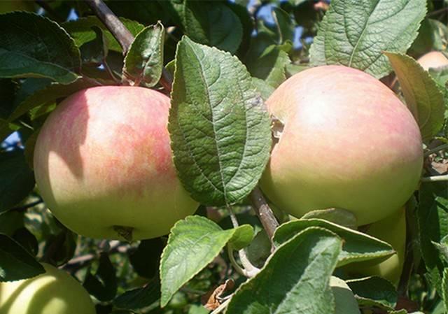 Самая красивая сортовая яблоня — сеянец солнцедара