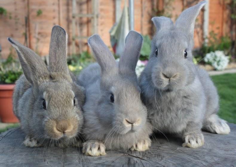 Как определить возраст кролика: по каким признакам и отличительным чертам?