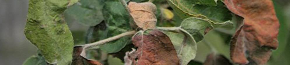 Появление ржавчины на яблоне - боремся с недугом