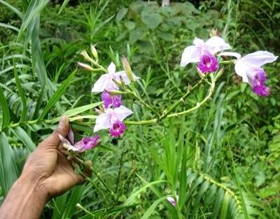 Где находится родина орхидеи?