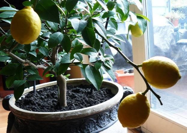 Лимонное дерево: уход в домашних условиях, полив, подкормка и обрезка растения - sadovnikam.ru