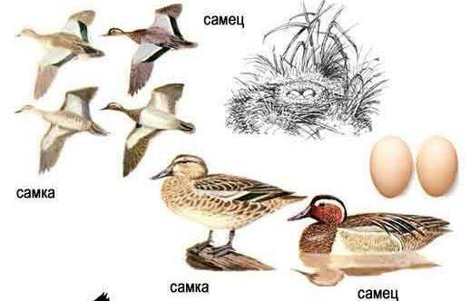 Чирок свистунок птица. описание, особенности, виды, образ жизни и среда обитания чирка | живность.ру