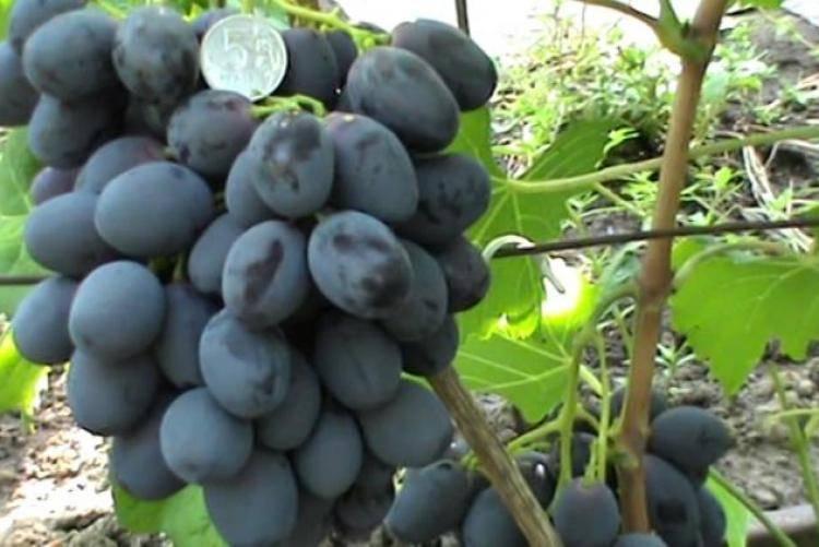 Сорт винограда «фурор»: крупные ягоды и морозостойкость черного винограда