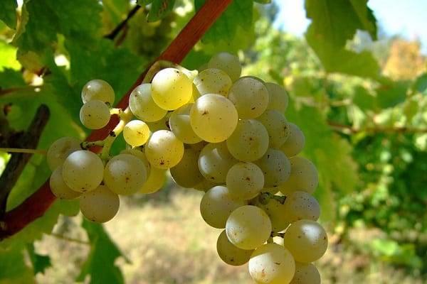 Сорт винограда шардоне: описание сорта, фото, отзывы