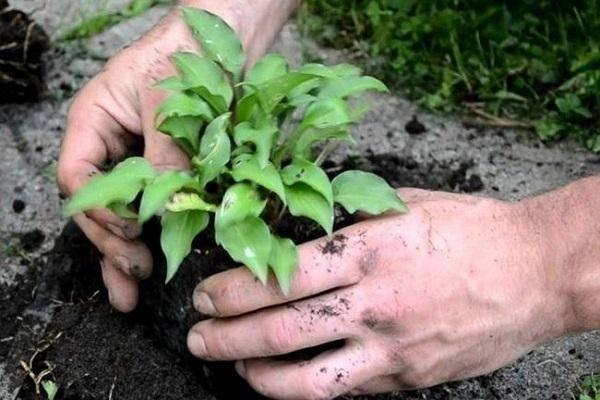 Как делить и пересаживать хосты на новое место весной, летом и осенью