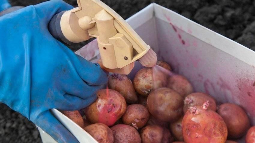 Ботва картофеля чернеет и сохнет: что делать, как спасти урожай