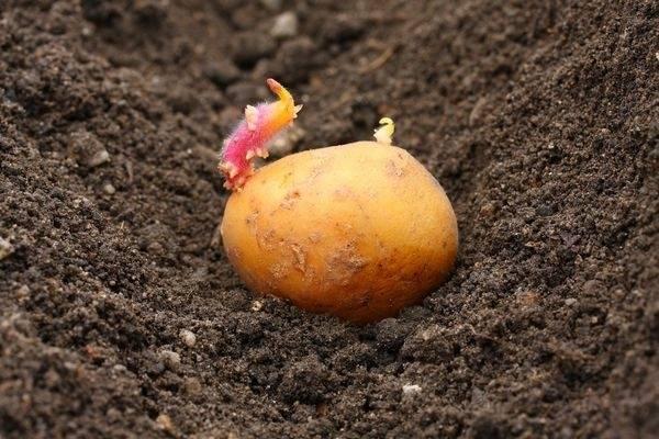 Удобрения для картофеля при посадке в лунку: какие вносить