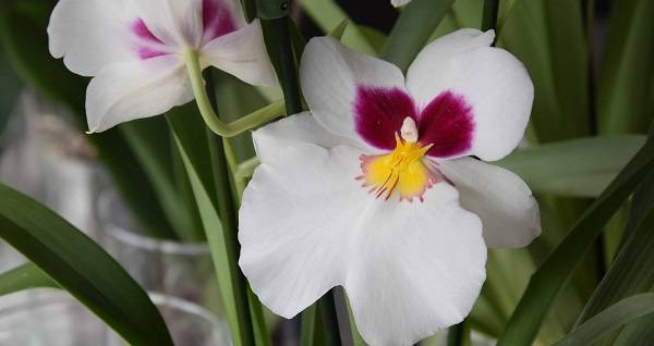 Советы по уходу за орхидеей мильтония, размножению и пересадке в домашних условиях