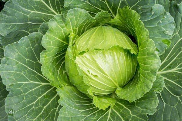 Капуста ринда f1: описание и характеристика сорта, достоинства и недостатки, особенности выращивания, когда сеять семена