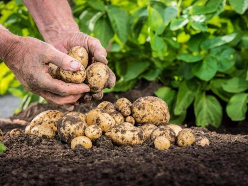 Лучшие сорта картофеля: самые урожайные и стойкие к болезням | спутниковые технологии