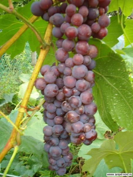 Путеводитель по американскому винограду - diasporanews