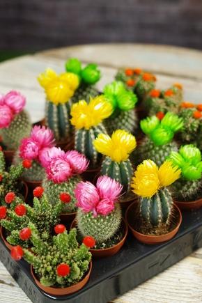 Декоративная колючка, или гимнокалициум микс. как ухаживать за растением?