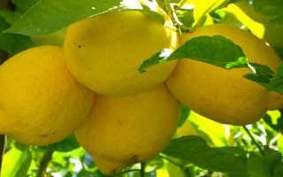 К чему снится  лимон во сне — по 90 сонникам! если видишь во сне лимон что значит?