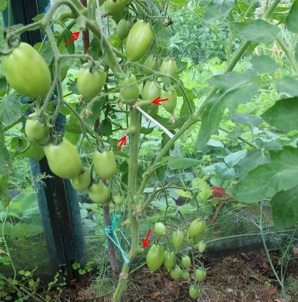 Как помочь помидорам дать больше завязей народными средствами