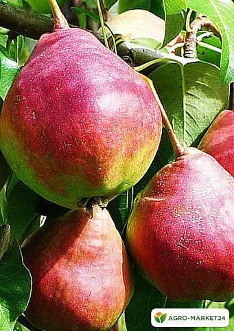 Томат груша красная: отзывы о сорте от дачников с опытом, фото кустов и поспевшего урожая, азы агротехники