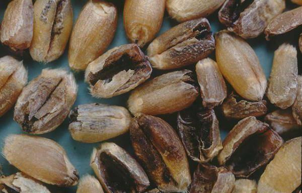 Что такое головня в зерне (на пшенице) в биологии