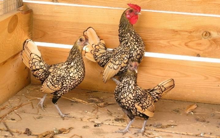 Породы кур фото и название полный каталог: яичные, декоративные, мясные, породистые, редкие куры несушки и петухи, видео