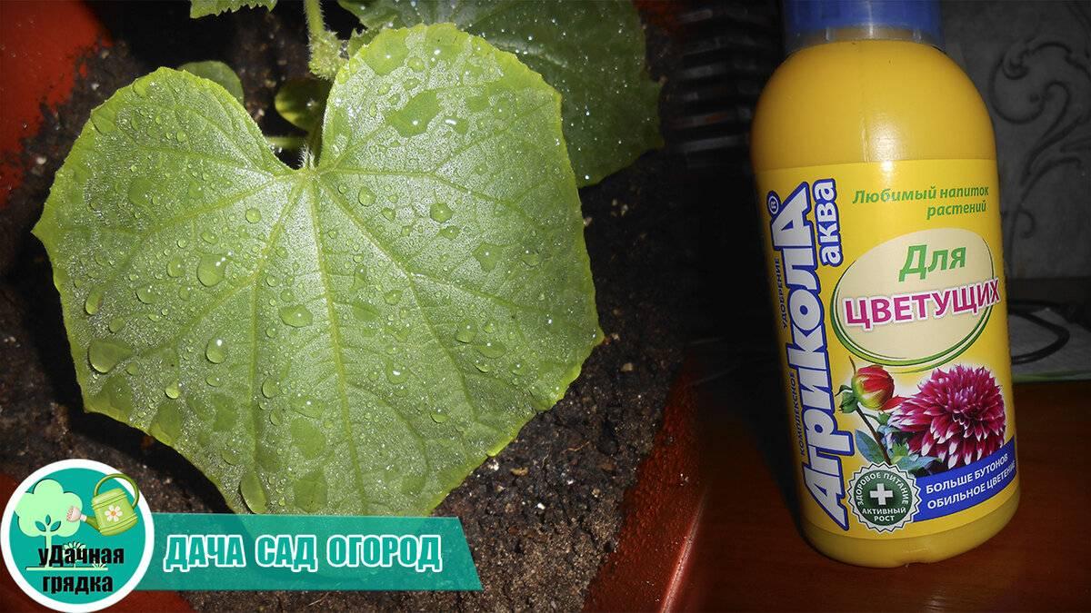 Почему у рассады огурцов сохнут края листьев или они скручиваются и желтеют: распространенные причины и методы борьбы с этими болезнями русский фермер