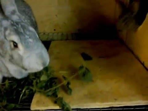 Крапива в рационе кролика – польза или вред?