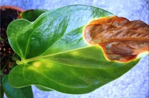 Болезни листьев антуриума, их описание, фото и как лечить, что делать если листья желтеют, чернеют, сохнут, на них образуются коричневые пятна, растение вянет
