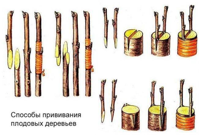 Прививка плодовых деревьев и кустарников, фото