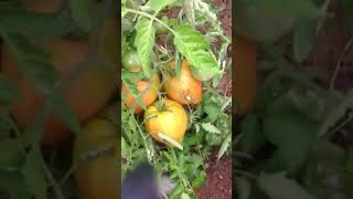 Томат корнабель: характеристики, плюсы и минусы, особенности выращивания