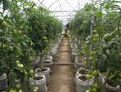 Как подвязывать помидоры: простые способы для теплицы и открытой почвы