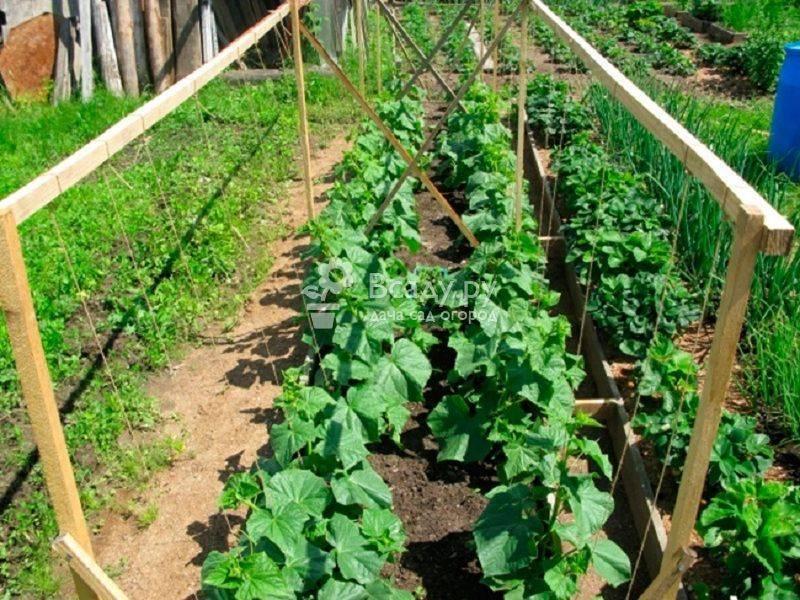 Посадка, уход и выращивание огурцов в открытом грунте