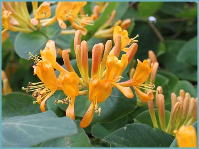 Жимолость каприфоль: фото, посадка и уход за растением