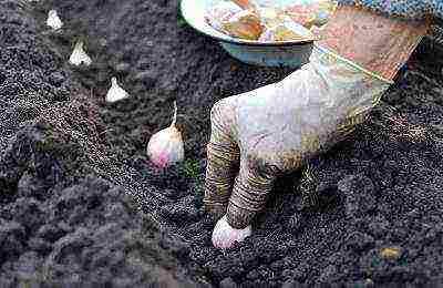 Как вырастить чеснок дома на подоконнике: подготовка почвы, посадка, уход, полезные советы